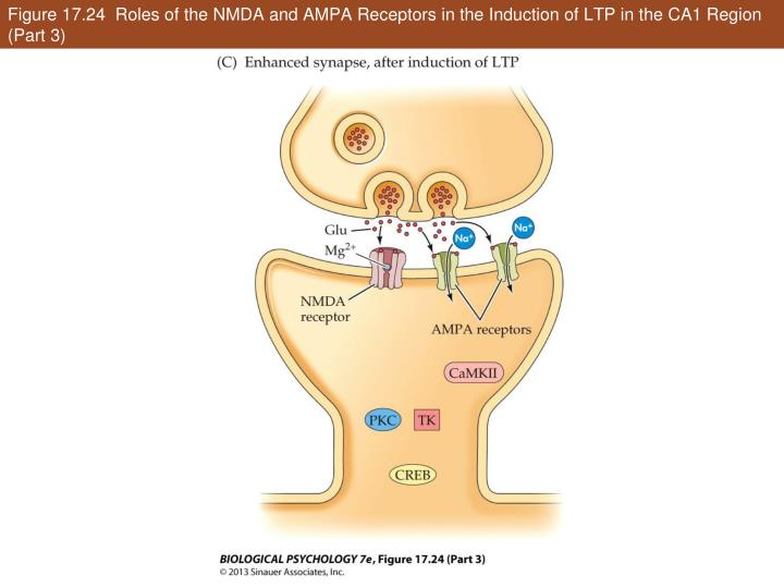 Figure 17.24  Roles of the NMDA and AMPA Receptors in the Induction of LTP in the CA1 Region (Part 3)