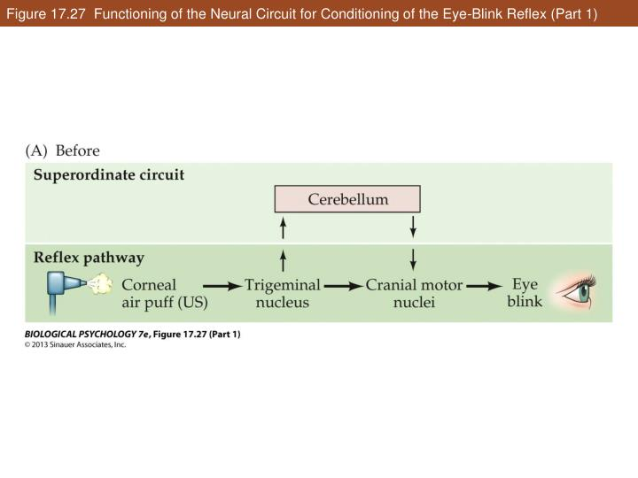 Figure 17.27  Functioning of the Neural Circuit for Conditioning of the Eye-Blink Reflex (Part 1)