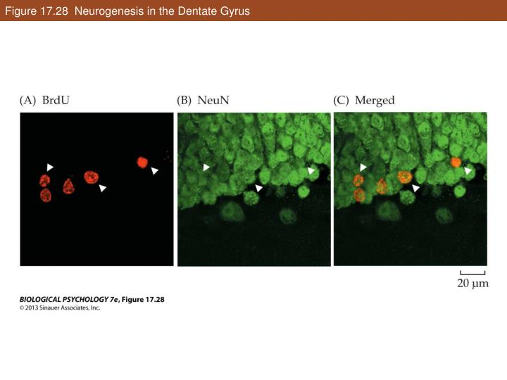 Figure 17.28  Neurogenesis in the Dentate Gyrus