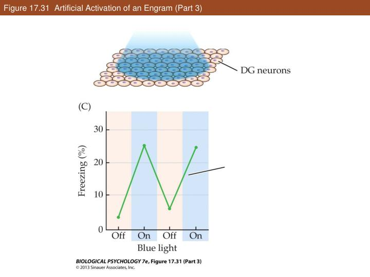 Figure 17.31  Artificial Activation of an Engram (Part 3)