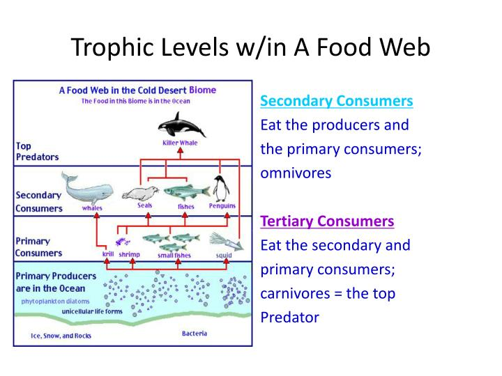 Trophic Levels w/in A Food Web