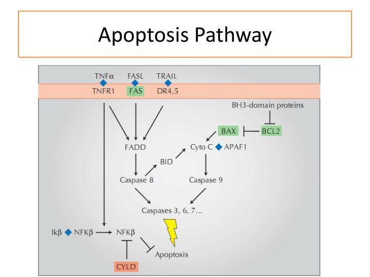 Apoptosis Pathway
