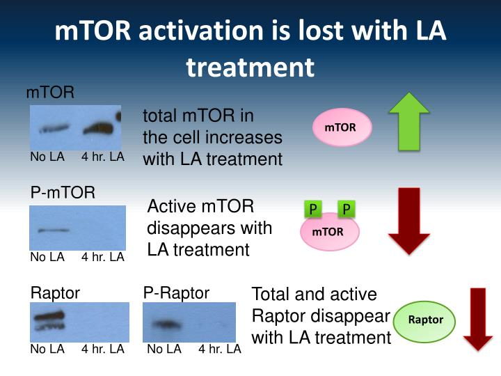 mTOR activation is lost with LA treatment