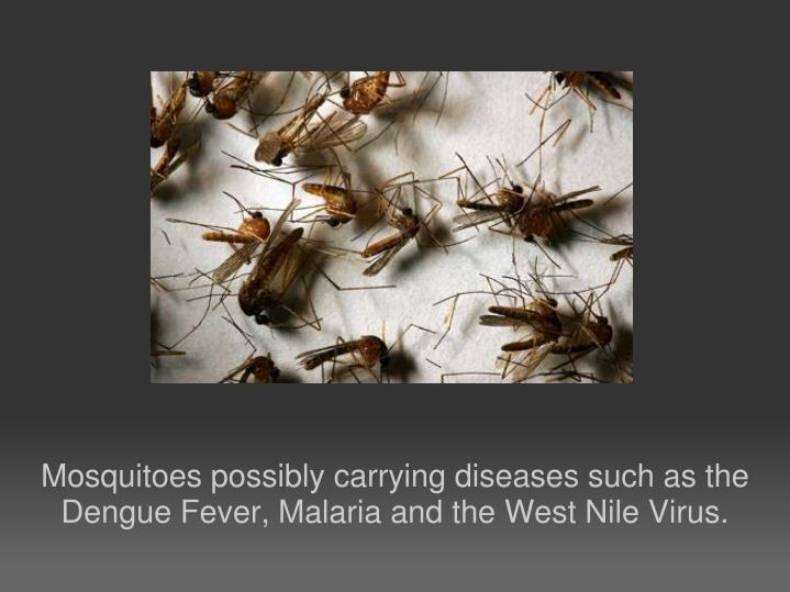 Mosquitoes possibly carrying diseases such as the Dengue Fever, Malaria and the West Nile Virus.