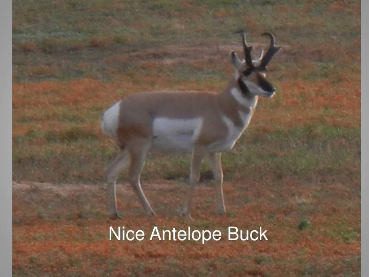 Nice Antelope Buck