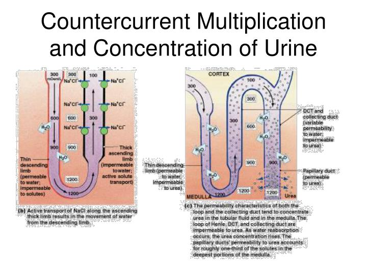 Countercurrent Multiplication and Concentration of Urine