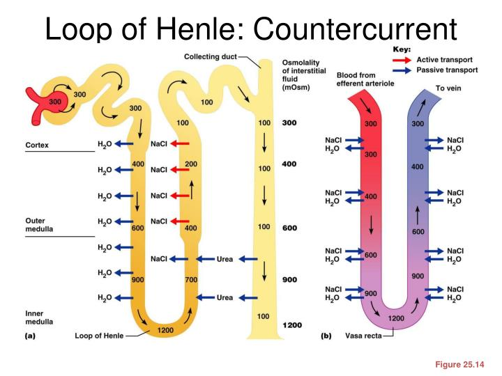 Loop of Henle: Countercurrent Mechanism