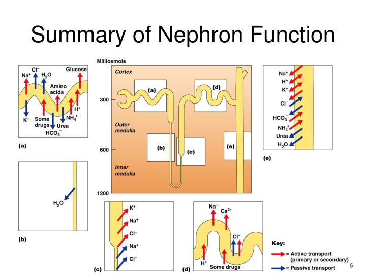 Summary of Nephron Function