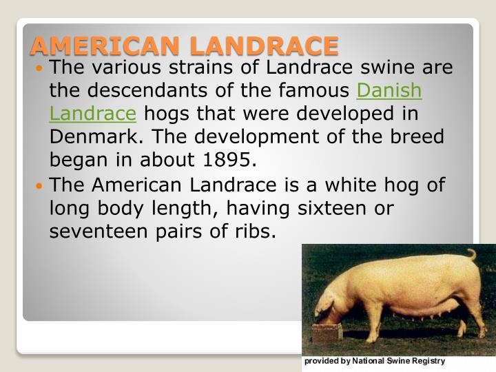 The various strains of Landrace swine are the descendants of the famous
