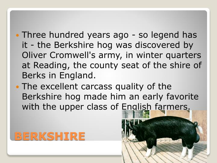 Three hundred years ago - so legend has it - the Berkshire hog was discovered by Oliver Cromwell's army, in winter quarters at Reading, the county seat of the shire of Berks in England.
