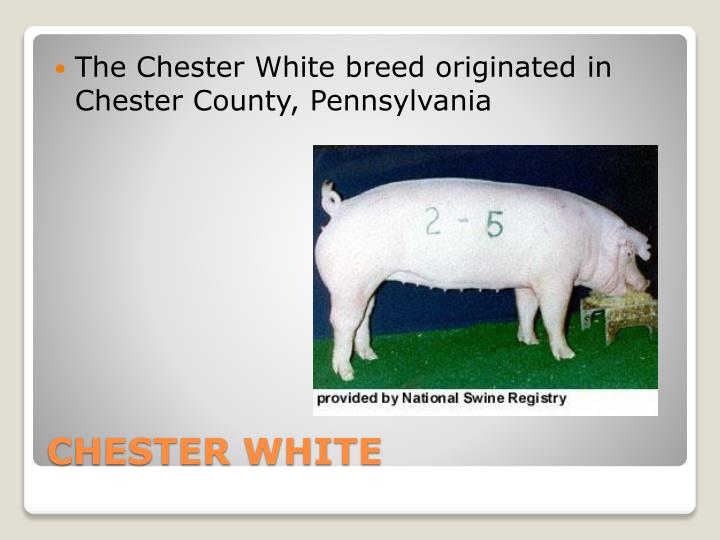 The Chester White breed originated in Chester County, Pennsylvania