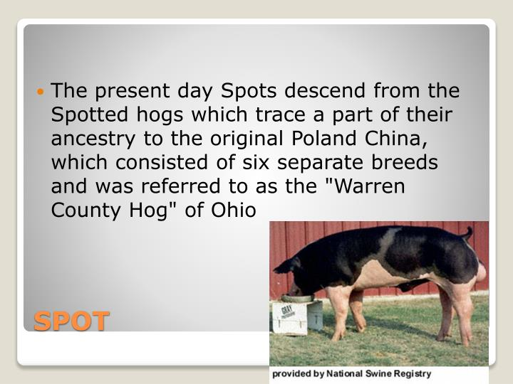 "The present day Spots descend from the Spotted hogs which trace a part of their ancestry to the original Poland China, which consisted of six separate breeds and was referred to as the ""Warren County Hog"" of Ohio"