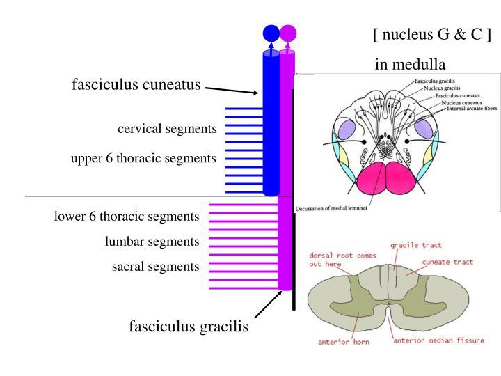 [ nucleus G & C ]