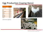 egg production laying hens