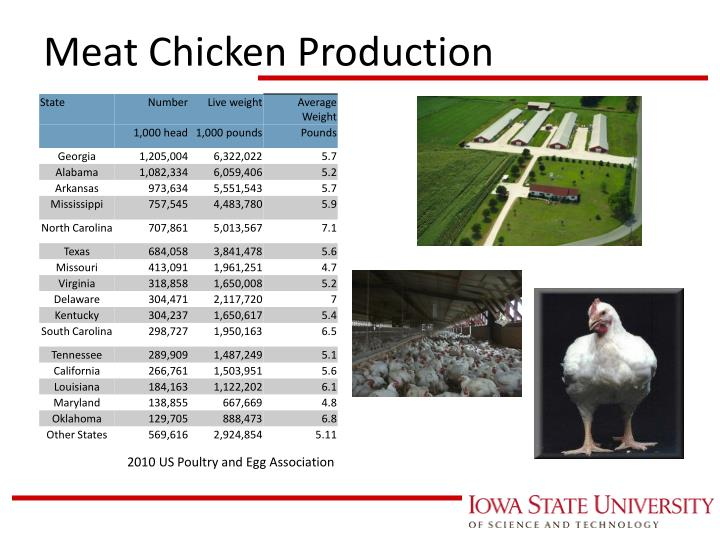 Meat chicken production