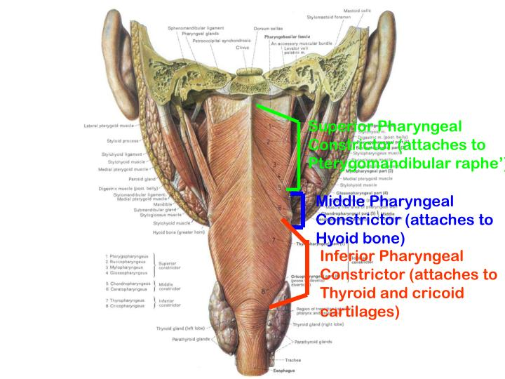 Superior Pharyngeal