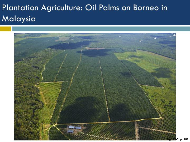 Plantation Agriculture: Oil Palms on Borneo in Malaysia