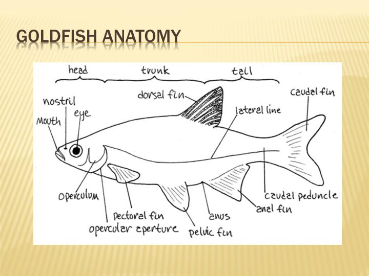 Goldfish anatomy