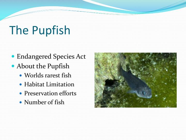 The Pupfish