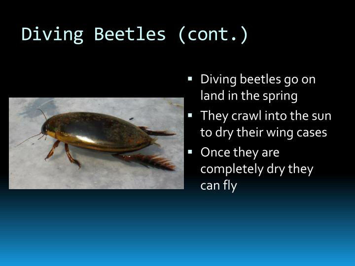 Diving Beetles (cont.)