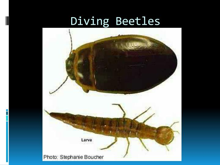 Diving Beetles