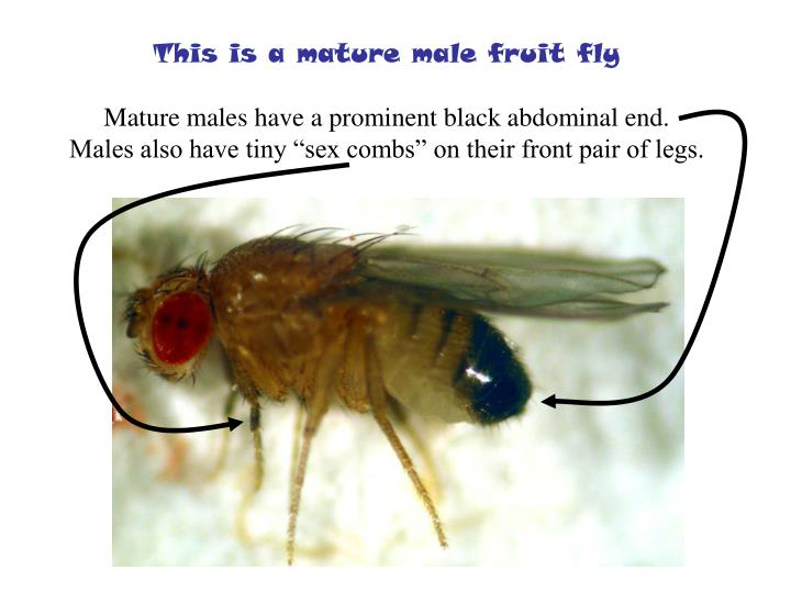 This is a mature male fruit fly