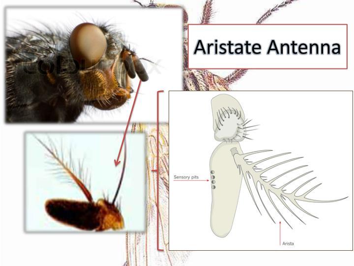 Aristate