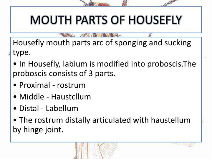 MOUTH PARTS OF HOUSEFLY
