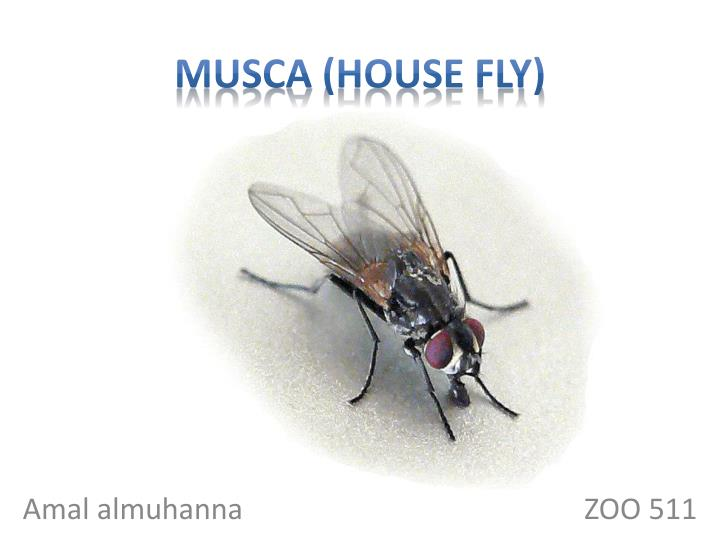 Musca house fly