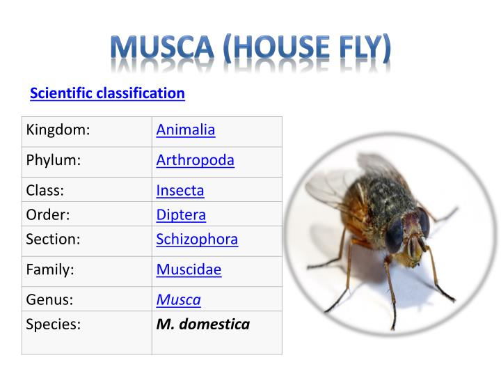 Musca house fly1