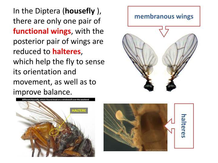 membranous wings