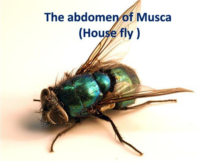 The abdomen of