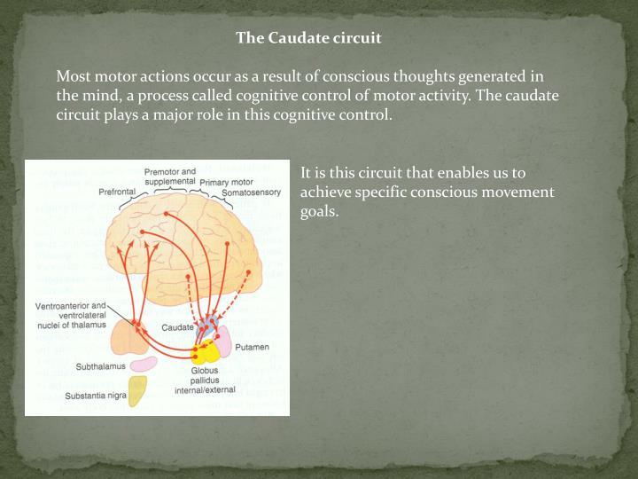 The Caudate circuit