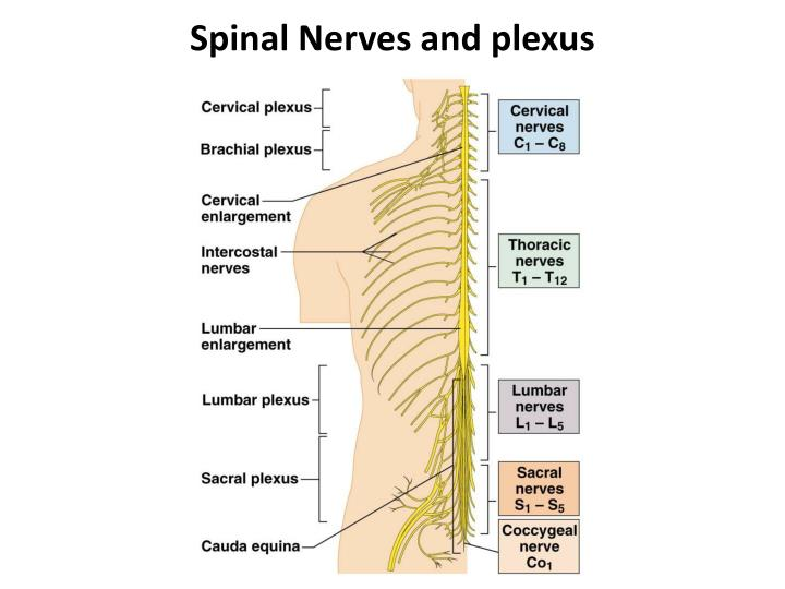 Spinal Nerves and plexus