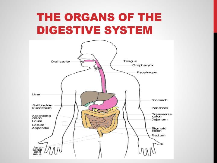 The Organs of the digestive system