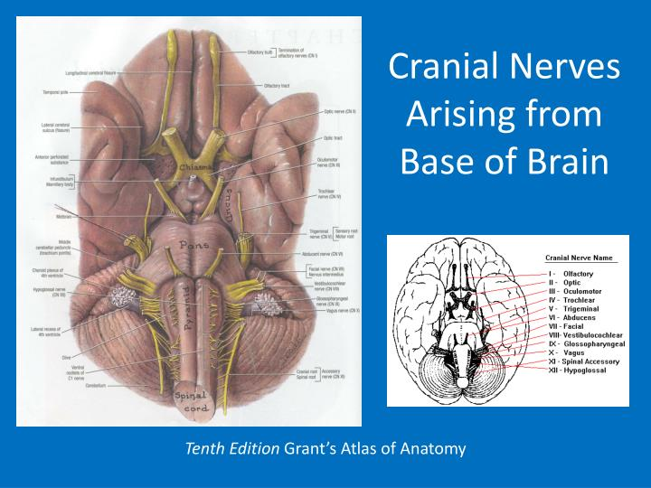 Cranial Nerves Arising from Base of Brain