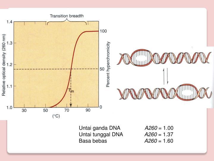 Untai ganda DNA