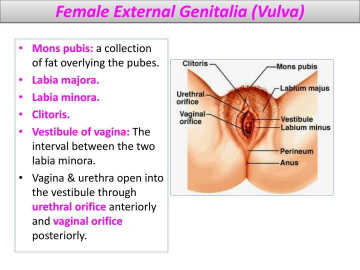 Female External Genitalia (Vulva)