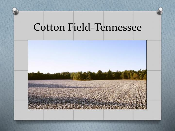 Cotton Field-Tennessee