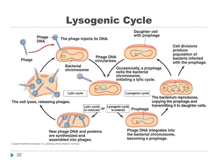 Lysogenic