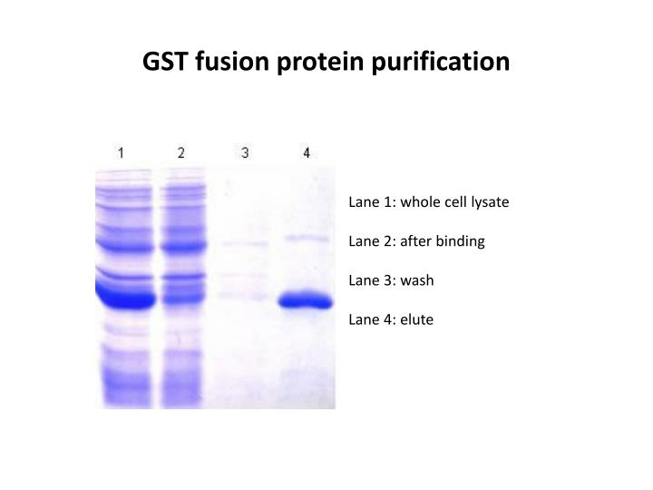 GST fusion protein purification