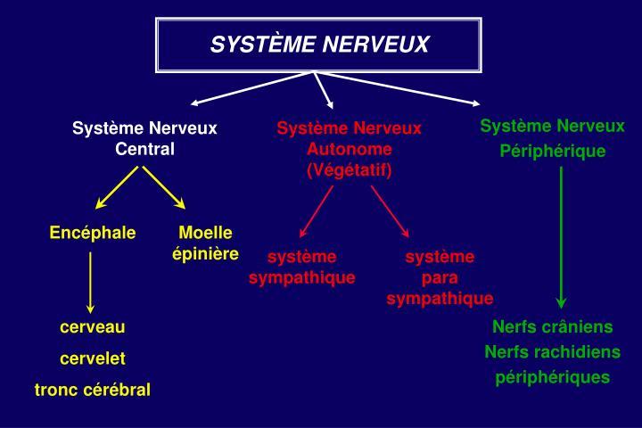PPT - Le système nerveux PowerPoint Presentation - ID:1901839