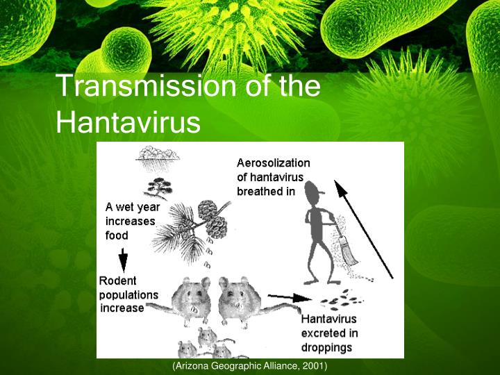 Transmission of the Hantavirus