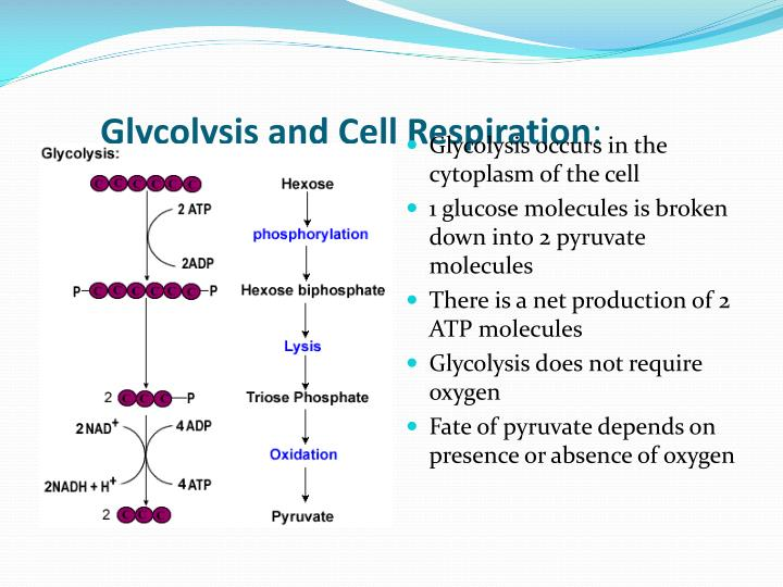 Glycolysis and Cell Respiration