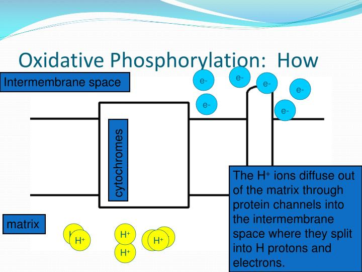 Oxidative Phosphorylation:  How