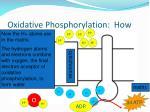 oxidative phosphorylation how4