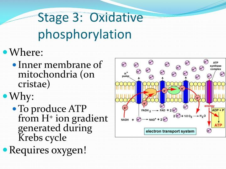 Stage 3:  Oxidative phosphorylation
