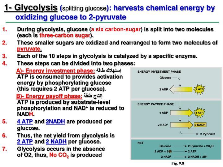 1- Glycolysis