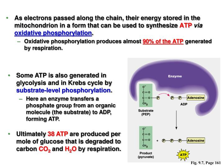 As electrons passed along the chain, their energy stored in the mitochondrion in a form that can be used to synthesize