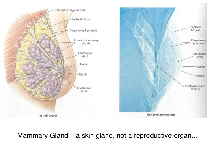 Mammary Gland – a skin gland, not a reproductive organ...